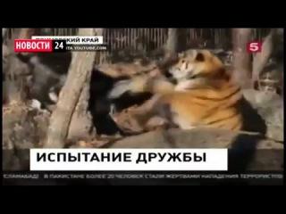 Сборка ракеты РФ. Амурский тигр жизнь! Амур и Тимур подрались Последние Новости России Сегодня