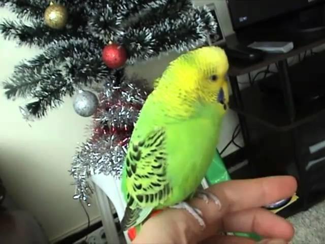Говорящий попугай Гоша-говороша 2