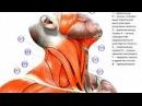 телесная терапия шеи снятие напряжения испуга и зажимов консультации