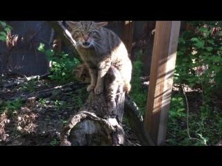 Дикая шотландская кошка с котенком