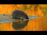 Hedgehog at watering. Еж на водопое.