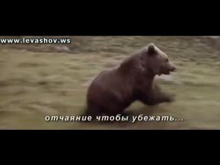 Нападение пумы на медвежонка