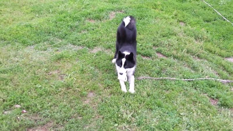 Пёс в деревне грызет игрушку - резиновую кружку!