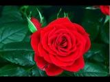 Распускание розы с @kseniya_flo_spb