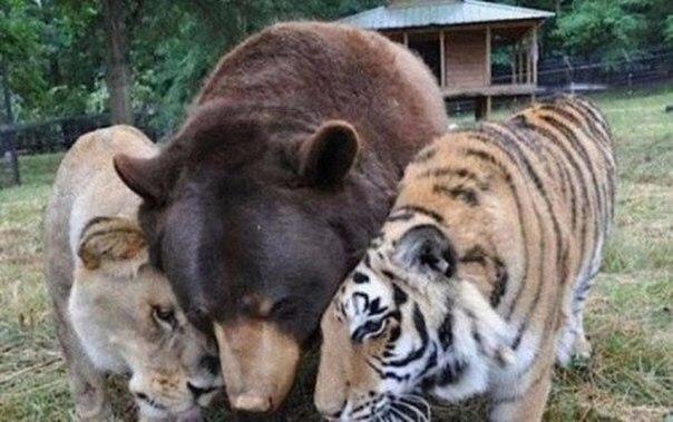 Тигр, лев и медведь, которые выросли вместе