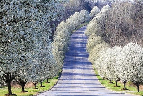 Груши цветут вдоль дороги... Красота!