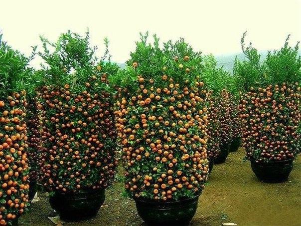 Плантация мандаринов в Китае