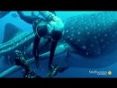 A Whale Shark Cooperates with the Diver Saving Him