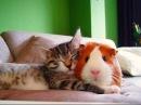 Кошки и Морские Свинки Веселая Видео Подборка Guinea Pig And Cat