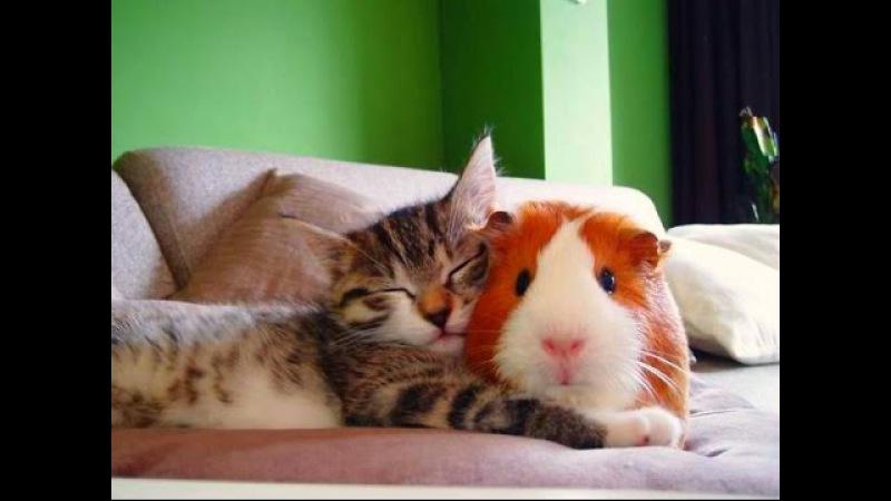 Кошки и Морские Свинки! Веселая Видео Подборка! Guinea Pig And Cat