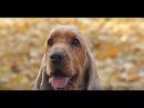 Кокер Спаниель ➠ Узнайте все о породе собаки