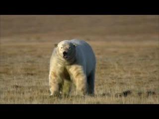 Леопард напал на Медведя . Кто кого битва  Титанов