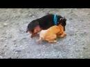Doberman Pinscher Attacks Smaller Dog