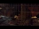 Ivan Mijok Priprema za izložbu 15 11 2014 Engleski veliki gušan Englische kropftauben