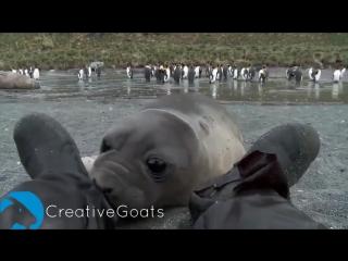 Морской слонёнок исследует человека