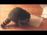 приколы с енотами выпуск #02 funny raccoon ну просто очень смешные еноты