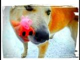 Свинка Пеппа Peppa Pig и Джордж играют с Собакой