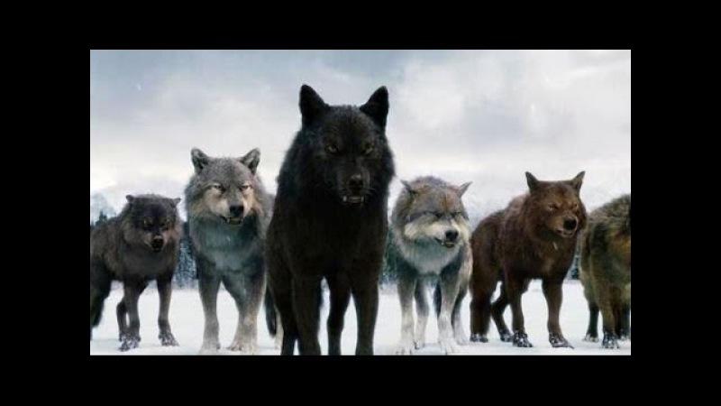 Супер хищник! Черные волки. ДОК. КИНО 2016