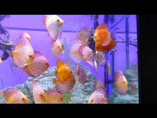 Дискусы Короли аквариума