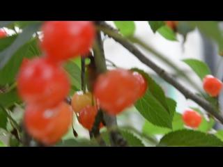 Вишня - спелая  сочная прекрасная чудесная сладкая кислая живая волшебная