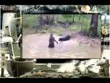 Собачьи бои Кенгуру против собак