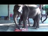 Слон массажист.