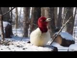 Красноголовый #меланерпес, или красноголовый #дятел (лат. Melanerpes erythrocephalus)