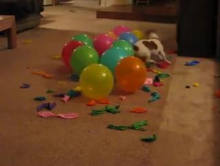 Пёс и воздушные шарики
