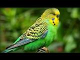 1 Час - Веселое Пение Волнистых Попугайчиков