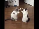 """Две кошки очень мило и часто играют в """"ладушки"""" лапами  Two cats play to type in the tabs Pat a cake"""