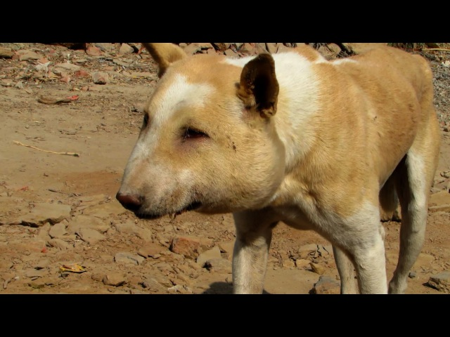Street dog suffering from huge abscess saved