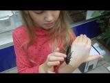 Тискание мадагаскарского шипящего таракана
