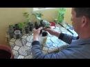 Прививка арбуза на тыкву лагенария 2015 год