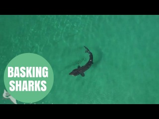 Stunning Drone Footage Captures Basking Sharks Feeding Off The West Coast