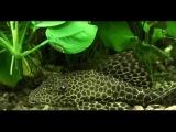 Парчовый птеригоплихт (Pterygoplichthys gibbiceps)