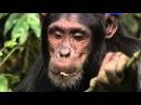 Секреты обезьян Сокращая разрыв