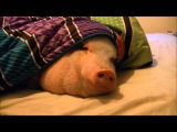 Sleeping Pig Wakes Up for a Cookie!