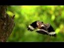 Пение птиц. Удод (Upupa epops).