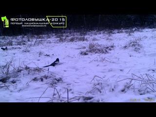 "ID15565/НП ""Угра"", Калужская обл./Сорока купается в снегу"
