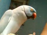 Говорящий бирюзовый ожереловый попугай