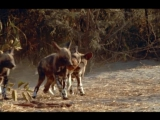 BBC: Жизнь Млекопитающих -  5 серия. Плотоядные