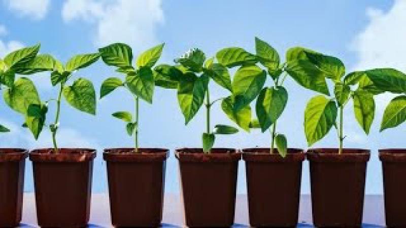 Как правильно высаживать рассаду в открытый грунт