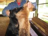 ягдтерьер и лиса щенку 6 месяцев