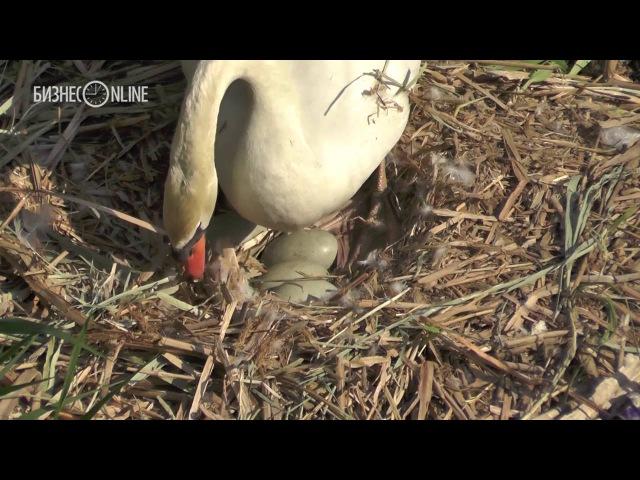 Орнитолог о том, что может помешать лебедям на Кабане высидеть яйца