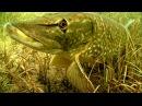 Щука каннибал: атака на рыболовные комбинированные приманки под водой. Видео-ры ...