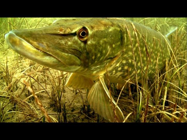 Щука каннибал: атака на рыболовные комбинированные приманки под водой. Ирландия.