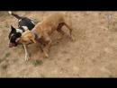 Питбуль Vs Бультерьер (Fighting Dogs) Собачьи бои: Pitbull против Bull terrier
