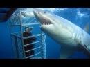 Белая акула Изучение акул повадки среда обитания