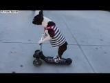 Собаки бостон-терьеры в кроссовках и жилете едут на самокате / scooter dogs wear sneakers