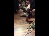 How to tie Kathak ghungroos